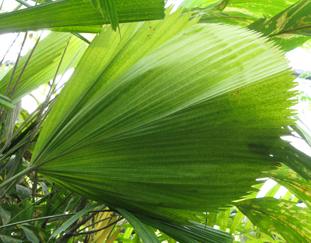 palmier longue feuille