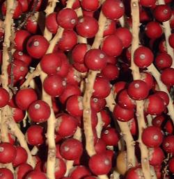 P pini re palmaris palmiers yuccas agaves bananiers qu 39 est ce qu 39 un palmier - Fruit qui pousse sur un palmier ...