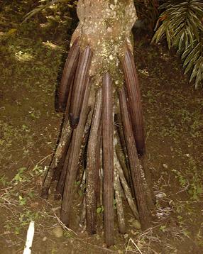 palmier racine